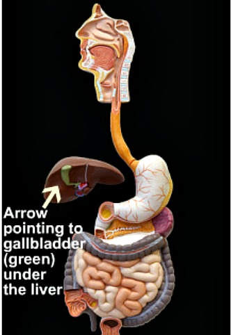 Picture of the human digestive tract, from the teeth to the rectum
