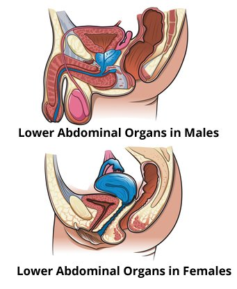Lower Abdominal Organs - Male and Female