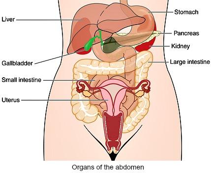 Organs of the human abdomen